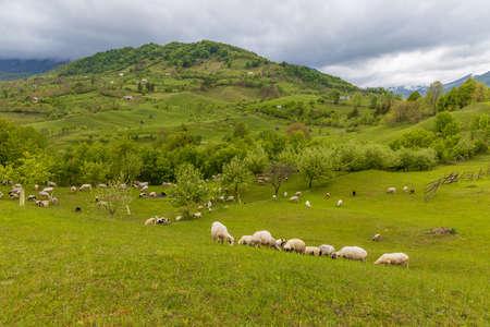 Sheep grazing on filed.  Rural Scene Transilvania, Romania Foto de archivo
