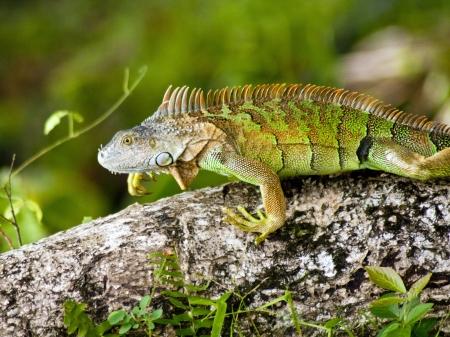 Leguaan in Costa Rica Stockfoto