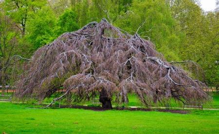 hyde: London - Tree in Hyde Park