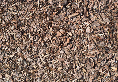wood chip: Fresh wet wood chip from pine tree, nature texture.