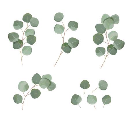 zestaw liści eukaliptusa srebrny dolar. naturalne gałęzie, ilustracja wektorowa zieleni