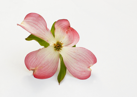 Single Pink Dogwood Blossom on White Background Stock Photo