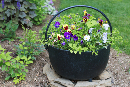 Colorful Pansies in a Black Metal Bucket