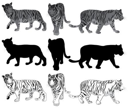 sneak: Set of walking Tigers Illustration