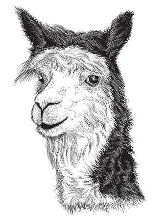 Vector illustration of sketch of a Alpaca's face Black and white Vettoriali