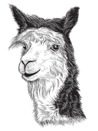 Vector illustratie van schets van een Alpaca's gezicht Zwart en wit