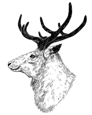 fallow deer: Vector drawing of wild deer