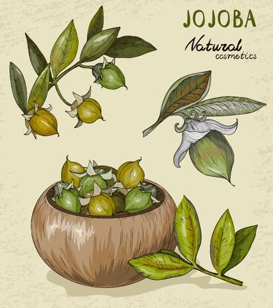 Set of organic Jojoba fruit vector illustration.