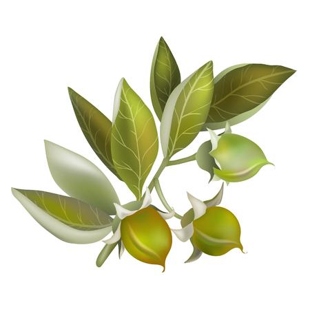 Jojoba fruit, element for organic cosmetics Illusztráció