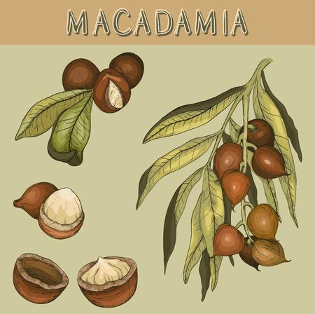 Hand drawn Macadamia nut and branch Vettoriali