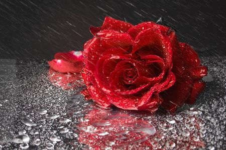 Closeup of wet red rose and some water drops on black background