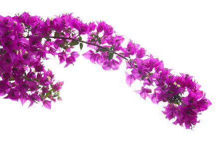 Pink bougainvillea 写真素材