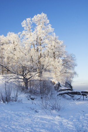 Trees covered with hoarfrost above the frozen sea photo