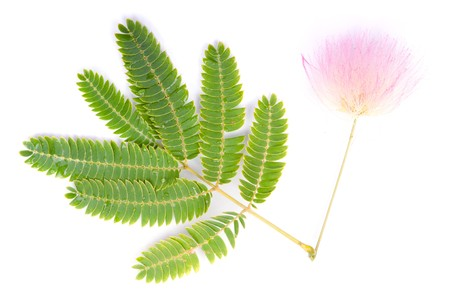 mimosa: Beautiful flower Albizia julibrissin isolated on white background