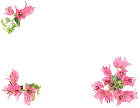 Pink bougainvillea flowers frame on white