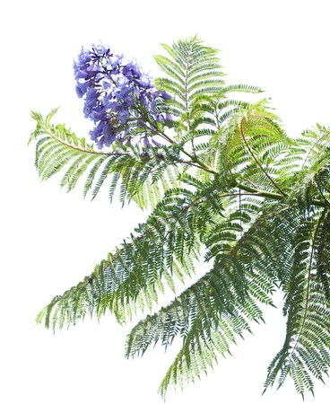 Jacaranda tree branch in bloom on white