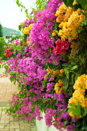 Different sorts of bouganvillea outdoors