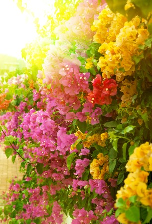 bougainvillea flowers: Different sorts of bouganvillea outdoors