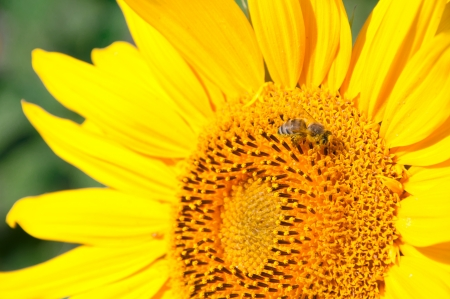 Closeup with sunflower with bee photo