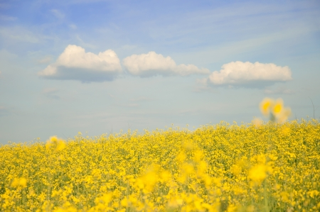 Beautiful rapeseed field in sunny day photo