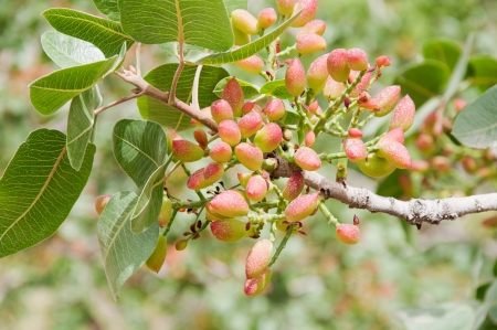 Pistachio tree in july in Turkey Stock Photo