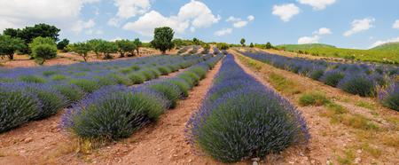 Blooming lavander field in Turkey, near Burdur Stock Photo