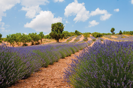 Blooming lavander field in Turkey, near Burdur Stock Photo