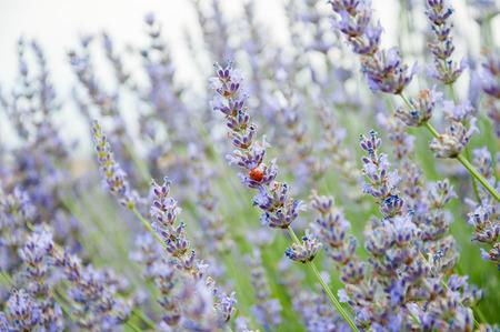 Closeup of blooming lavander field in Turkey, near Burdur