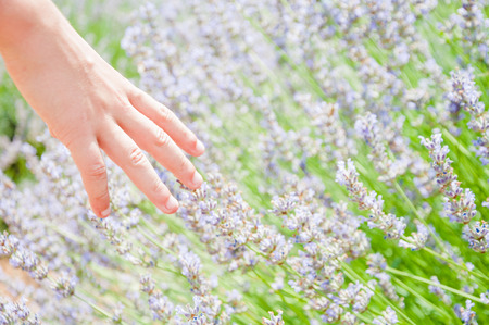 Childs hand touching lavender flowers in the field Stock Photo