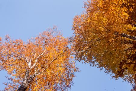 Beautiful golden aspen in autumn