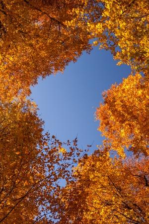 frame of beautiful golden aspen in autumn Stock Photo