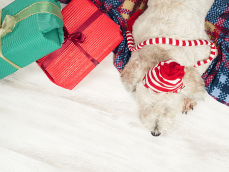 Cute funny dog in Christmas hat laying on the carpet, Christmas tree with present on background