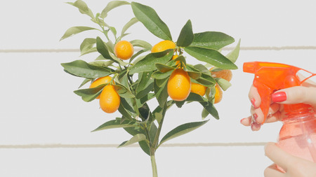Womans hand watering kumquat berries and leaves. Exotic fruits gardening
