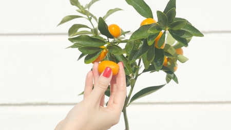 Womans hand touching kumquat berries and leaves. Exotic fruits gardening