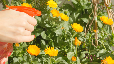 Watering calendula flowers with bottle spray garden watering can