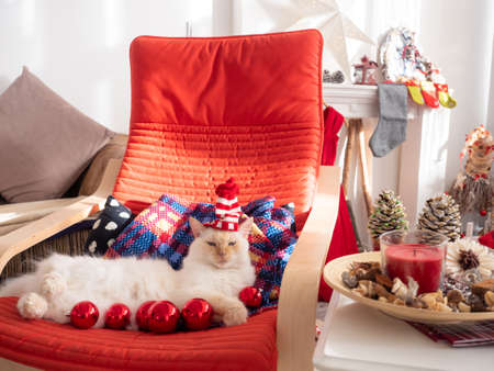 Funny white fluffy cat in santa hat lying on the rocking chair with christmas balls in front of it. Christmas at home.