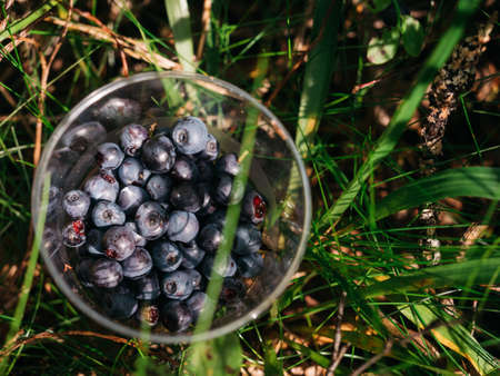 Closeup of fresh blueberries picked in plastic cup in European forest