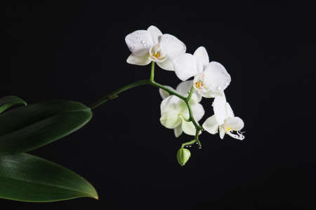 Branch of white orchid Phalaenopsis with green leaves on black background