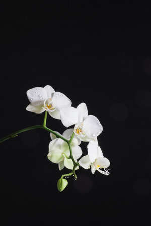 Branch of white orchid Phalaenopsis on black background. Vertical photo