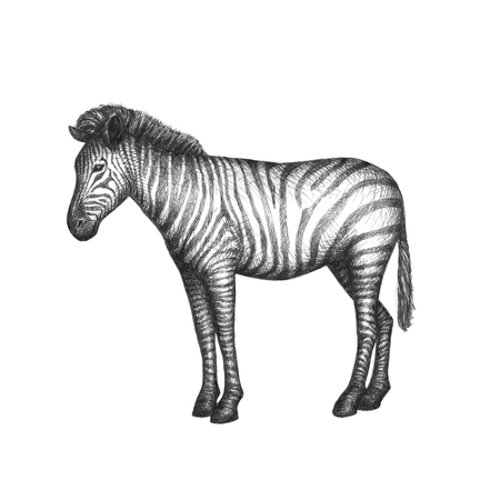 Hand drawn sketch of zebra isolated on white background.