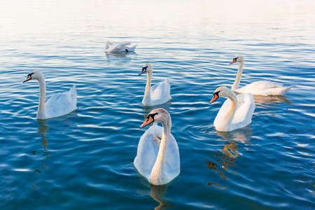 Beautiful white Swans On Lake water- peaceful scene, romance, seasonal postcard, selective focus