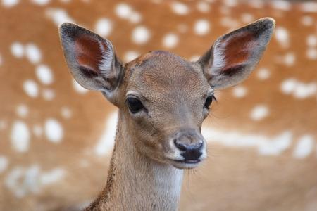 mouflon: La cabeza del becerro de mufl�n (Dama dama)