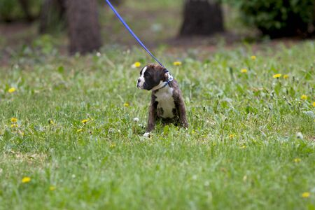 Portrait of a little puppy german boxer wearing blue collar sitting on grass among dandelions on spring day