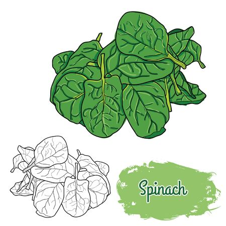 Hand Drawn Colorful Spinach