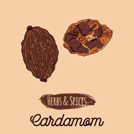 Hand Drawn Colorful Herbs and Spices Cardamom Illustration