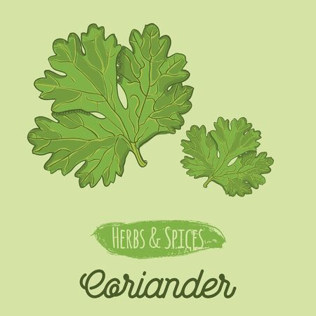 Hand Drawn Colorful Herbs and Spices Coriander