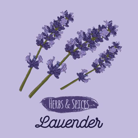 Hand Drawn Colorful Herbs and Spices Lavender Flower