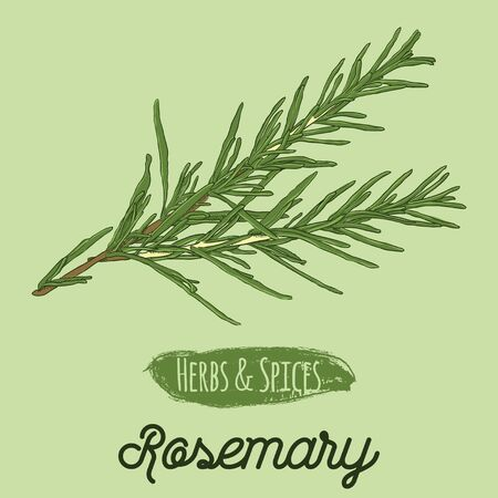 Hand Drawn Colorful Herbs and Spices Rosemary