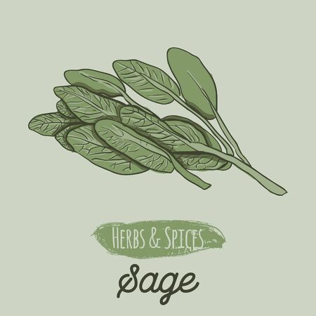 Hand Drawn Colorful Herbs and Spices Sage