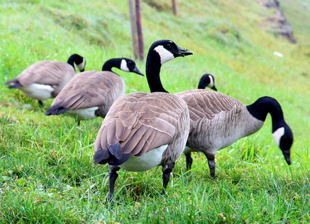 Group of Canadian Goose Eating photo